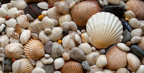 Sea Shells Seashells! - scallop and assorted shells / pebbles Canvas Print