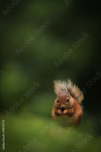 Printed kitchen splashbacks Red Squirrel
