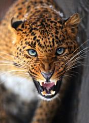 Fototapeta Zwierzęta Leopard