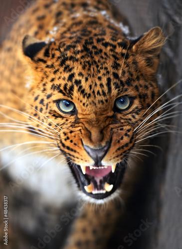Fotografie, Tablou Leopard