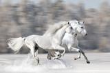 Two white horses in winter run gallop - 48440541