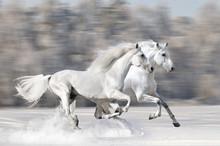 Two White Horses In Winter Run Gallop