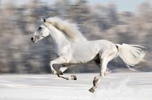 White Horse Runs Gallop In Win...
