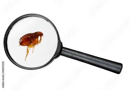 Dog or cat flea under real magnifying glass over white Poster