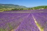 Fototapeta Krajobraz - Lavendelfeld - lavender field 33