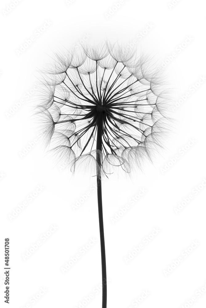 Fototapety, obrazy: dandelion flower  on a white background, silhouette