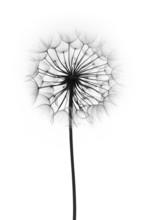 Dandelion Flower  On A White B...