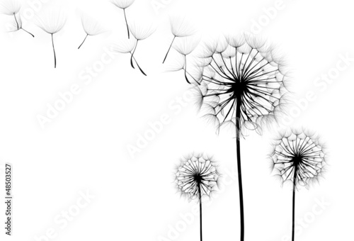 Photo sur Aluminium Pissenlit dandelion flower on a white background, silhouette