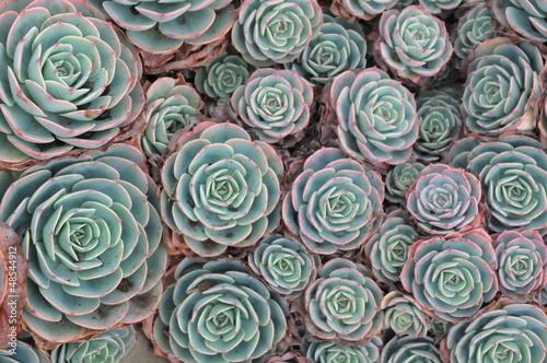 Spoed Foto op Canvas Cactus Hens and Chicks or Houseleek Plant