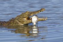 Nile Crocodile (Crocodylus Niloticus) Eating, South Africa