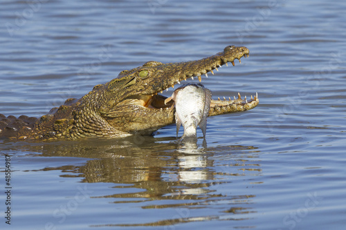 Poster Crocodile Nile Crocodile (Crocodylus niloticus) eating, South Africa