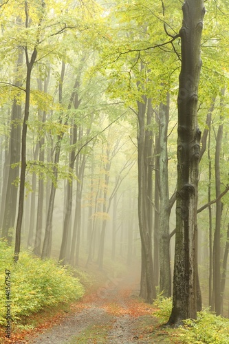 Foto auf Acrylglas Wald im Nebel Early autumn beech forest in the mountains
