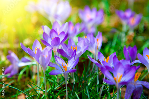 Papiers peints Crocus Spring purple crocus flowers with sunlight