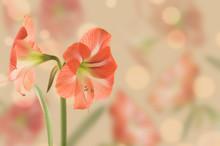 Large Flower Hippeastrum, Desi...