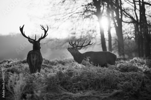 Wall Murals Bestsellers Red deer in Richmond park