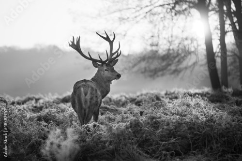 Fototapety, obrazy: Red deer in Richmond park