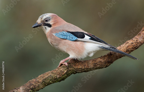 Canvastavla Jay bird on a branch