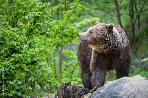 brown bear (lat. ursus arctos) Canvas-taulu