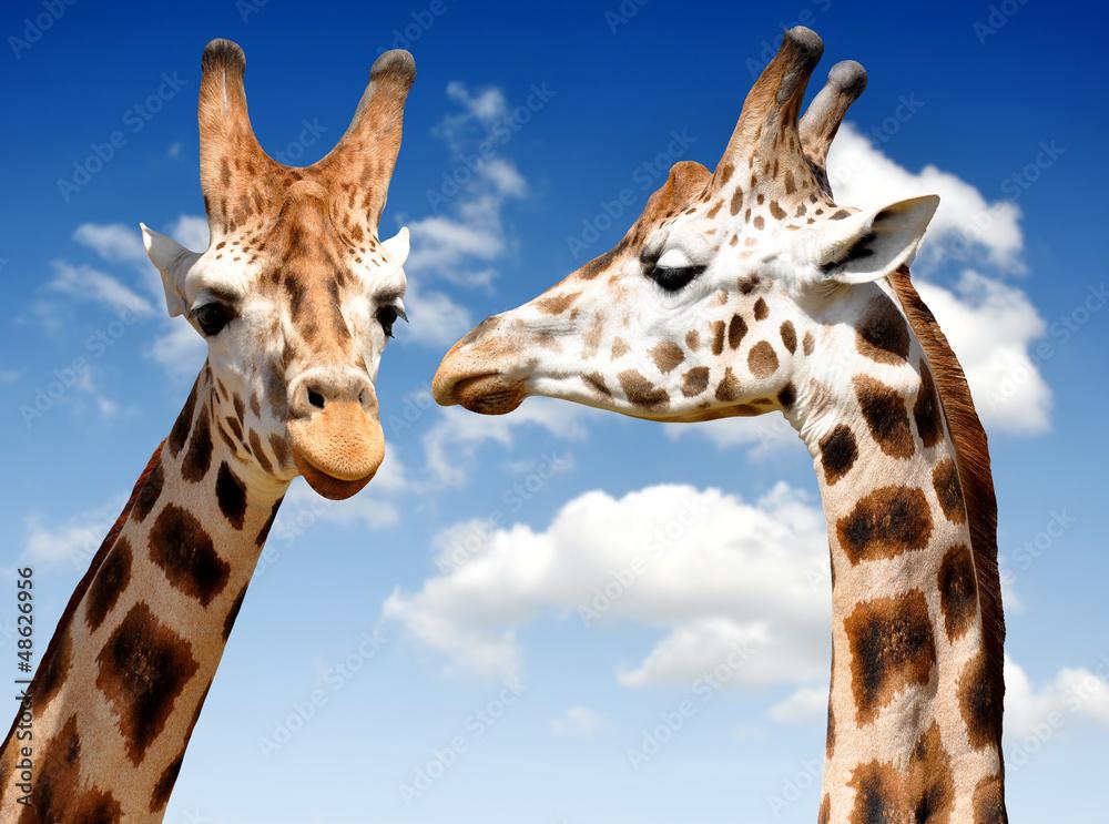 Fototapety, obrazy: Two Giraffes