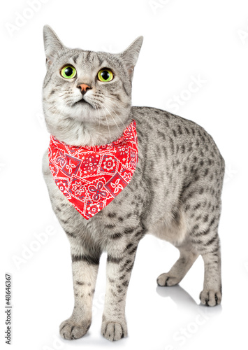 Tuinposter Rood, zwart, wit Cute Spotted Cat with Bandana