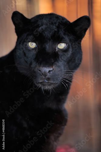 Deurstickers Panter Leopard portrait