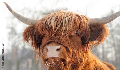 Fotografie, Obraz Scottish cattle