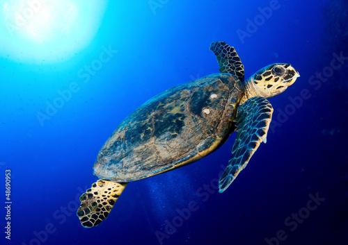 Fototapeta Hawksbill sea turtle in deep blue, Red Sea, Egypt. obraz na płótnie