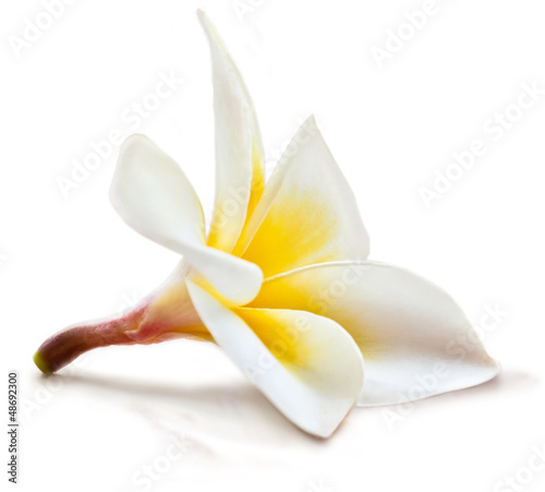 Magnolia Isolated magnolia flower.