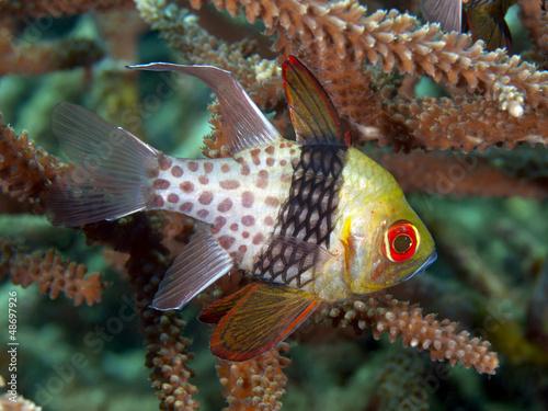 Photo Stands Coral reefs Pajama Cardinalfish