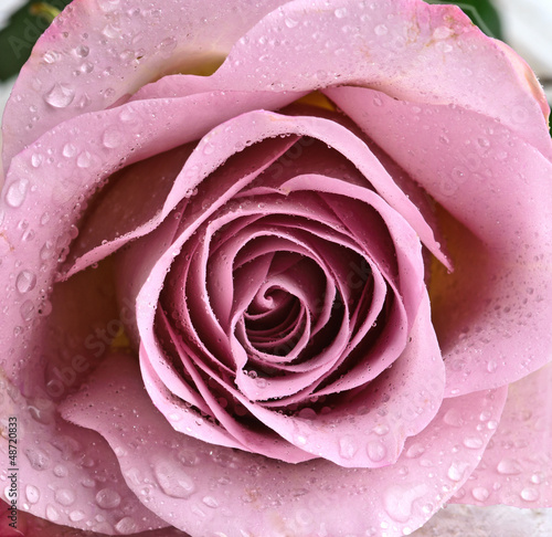 Schöne, violette Rose - 48720833