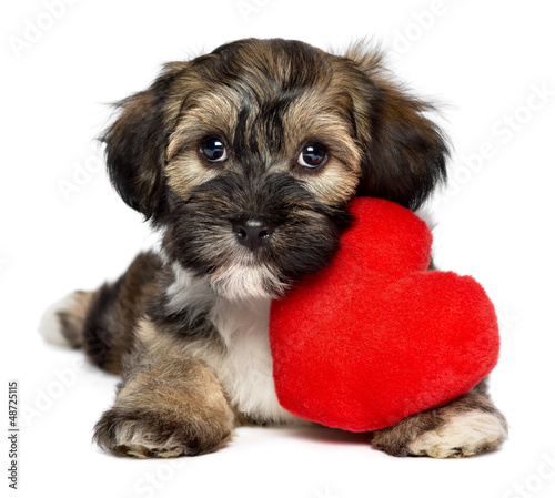 Canvas Print Lover Valentine Havanese puppy dog with a red heart