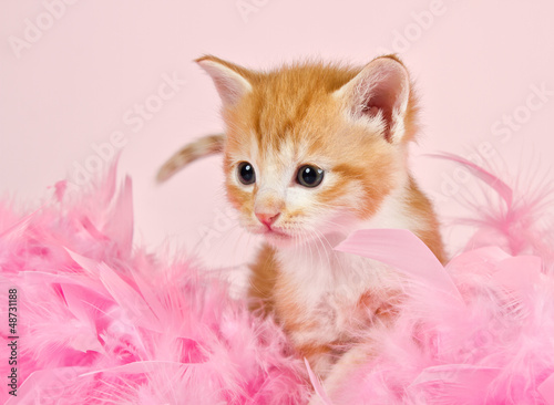 Pink feathers surrounding a ginder kitten