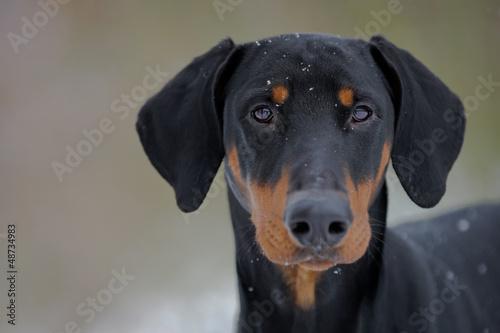 Photo Schwarzer Hund - Dobermann - Portrait
