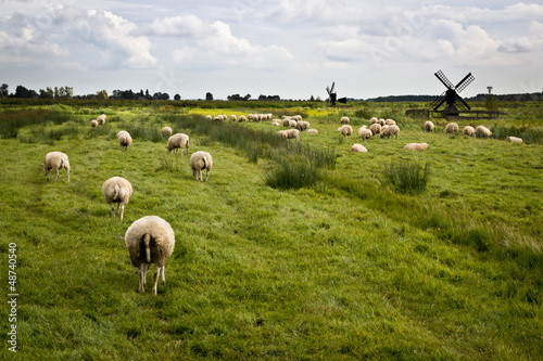 Photo  Sheeps with mills in Holland