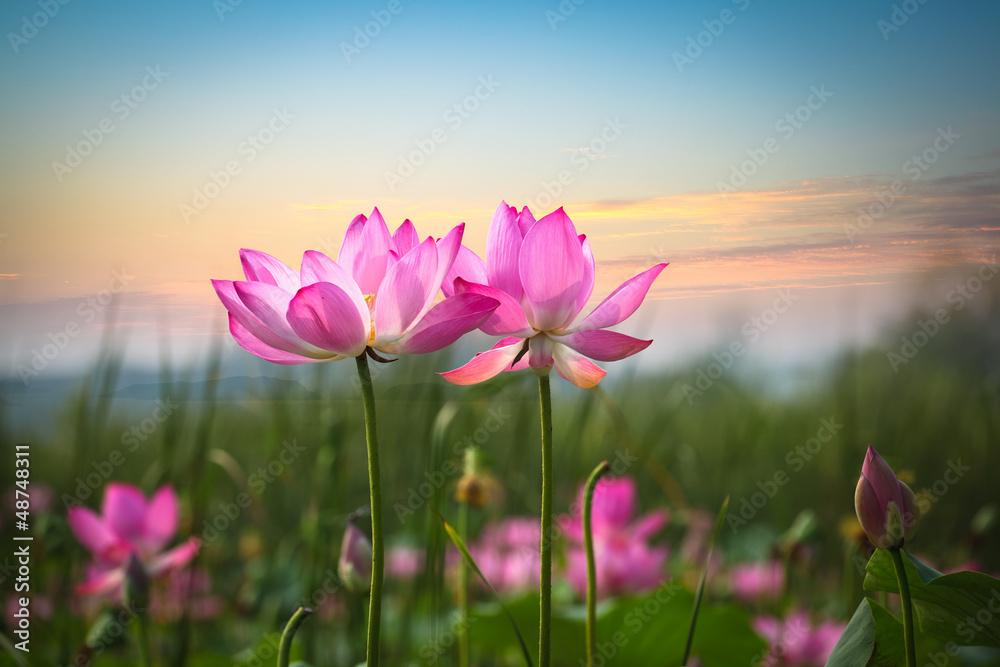 Fototapety, obrazy: Kwiat lotosu o zachodzie słońca