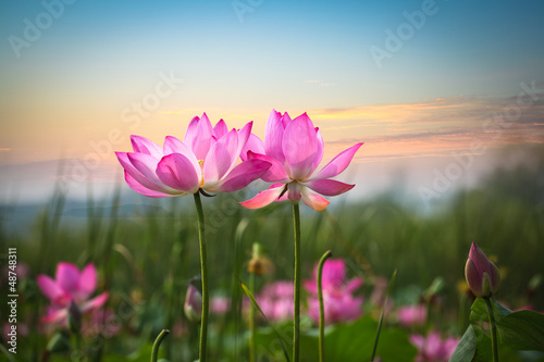 Poster Lotus flower lotus flower in sunset