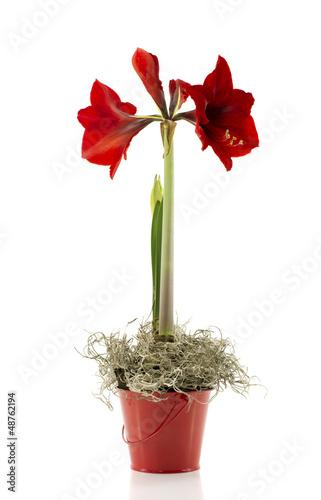 Canvas Print amaryllis red flower new life