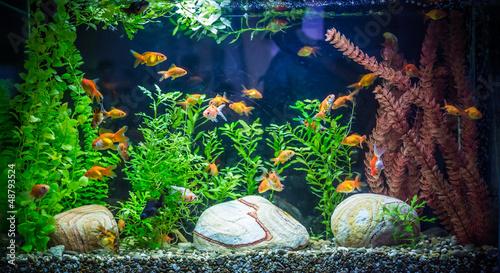 Fotografie, Obraz  Ttropical freshwater aquarium with fishes