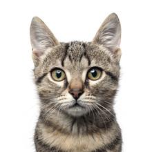Little Gray Kitten Portrait Up Isolated On White Background.