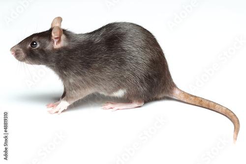 Foto rat over white
