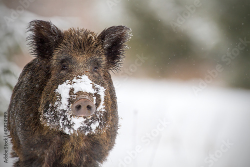 Leinwand Poster Wild boar with snow on snout