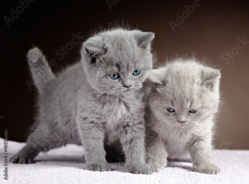 Canvas Prints two british short hair kittens