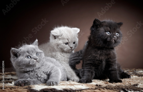 Fototapeta na wymiar three british short hair kittens