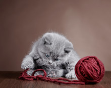British Short Hair Kitten And Ball Of Yarn