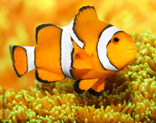 Fotografie, Tablou  Tropical reef fish - Clownfish (Amphiprion ocellaris).