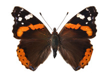 The Red Admiral. (Vanessa Atal...