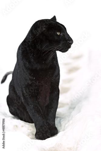 Cadres-photo bureau Panthère Leopard