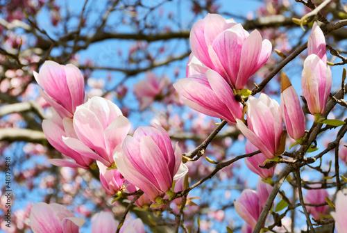 Magnolien vor blauem Himmel - 48879488