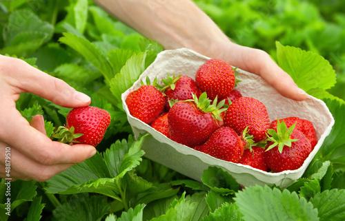 Fotografía  Perfekte Erdbeeren frisch vom Strauch