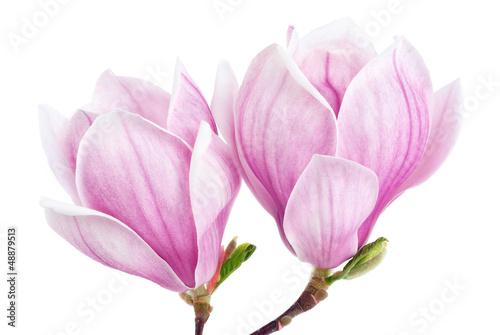 Fototapety, obrazy: Zwei Magnolienblüten auf weiß
